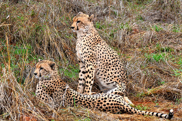 Cheetahs near Singita Pamushana Lodge in Malilangwe Wildlife Reserve, Africa