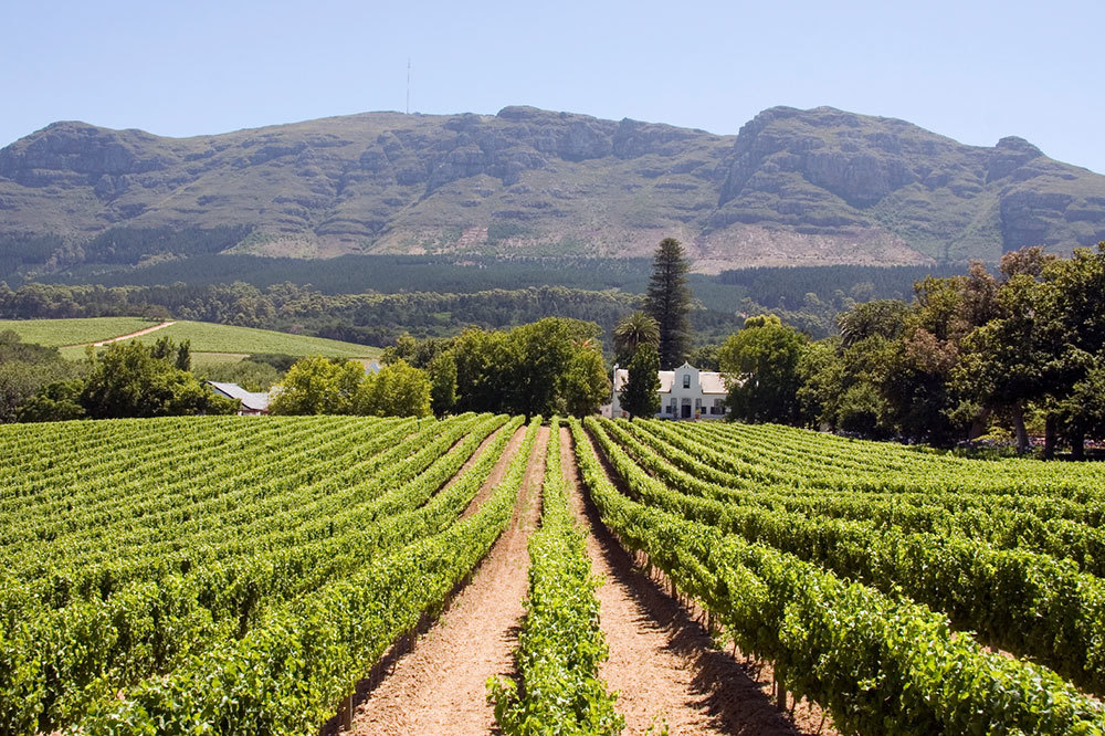 View of a vineyard in the Cape Winelands of South Africa