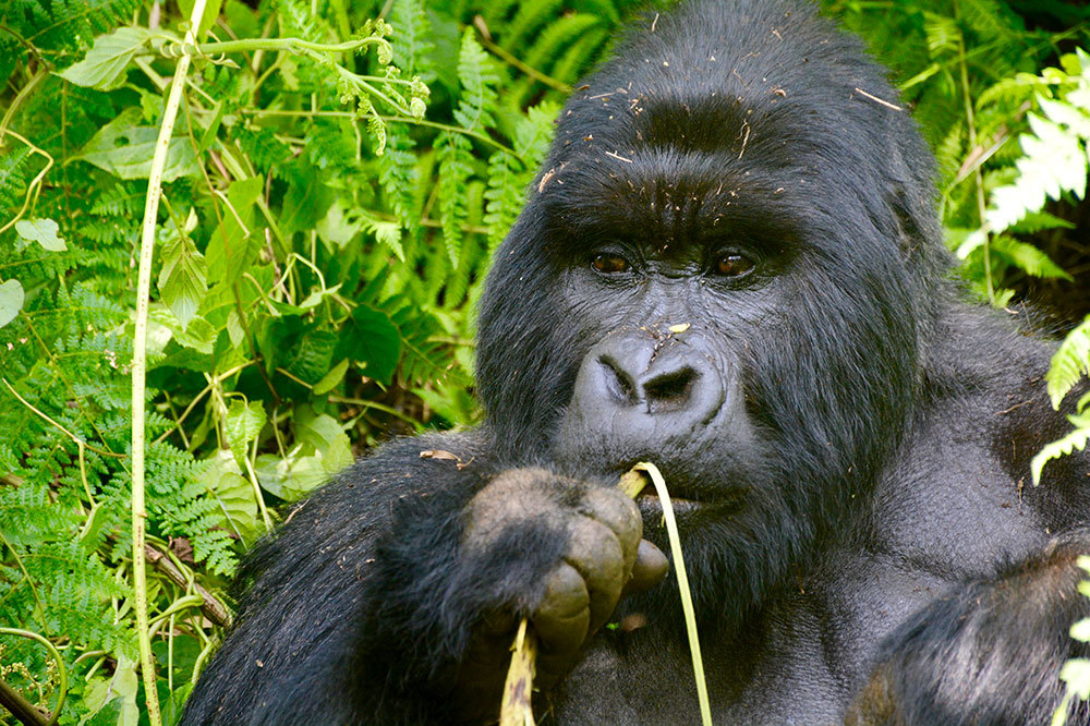 A member of the Agashya group chewing on a stick of wild celery in Volcanoes National Park in Rwanda
