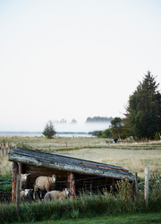 Sheep in a field at Henne Kirkeby Kro in Henne, Denmark