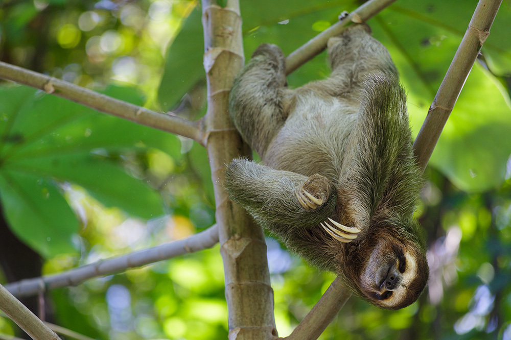 A three-toed sloth hanging from a tree branch in Manuel Antonio National Park in Costa Rica