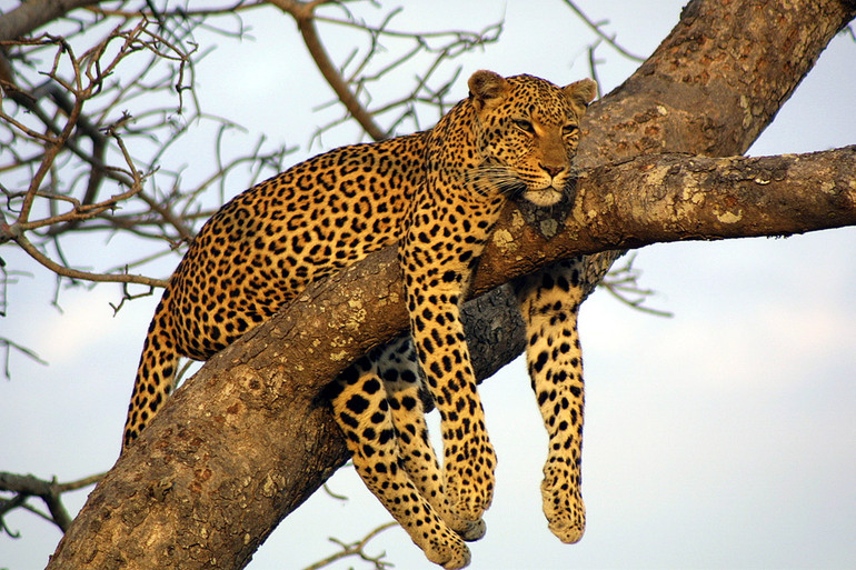 Leopard in a tree in South Africa