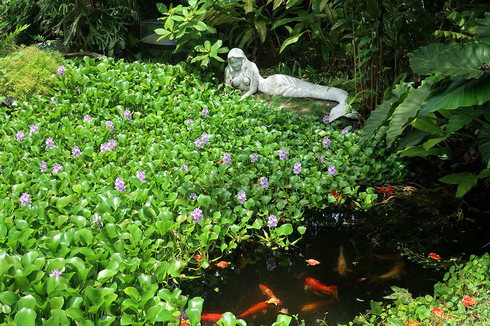 The water garden filled with koi at Sunnyside Garden in St. George's, Grenada